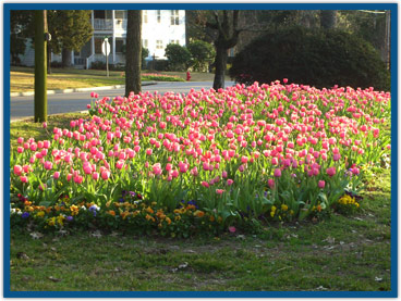 Tulips in Bayfront Park